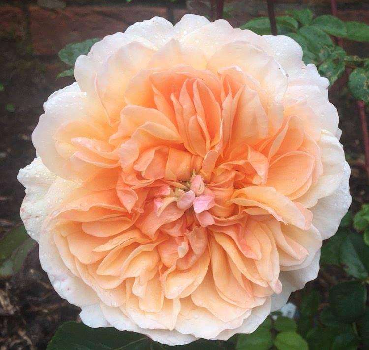 walled garden raasay roses